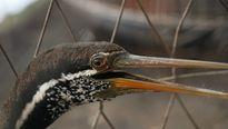 Chim cổ rắn quý hiếm được đưa vào Thảo Cầm Viên
