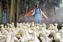 Khống chế thành công ổ dịch cúm gia cầm AH5N1 ở Hà Nam