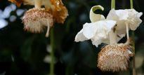 Sắc trắng tinh khôi trên cây bao báp lâu đời nhất Sài Gòn