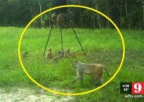 Đặt camera theo dõi, người đàn ông Florida phát hiện 50 con khỉ trộm 250 kg thức ăn