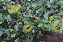 Clip: Nuôi hàng ngàn con rắn lục đuôi đỏ lấy nọc độc ở Tiền Giang