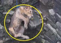 Toát mồ hôi với màn giải cứu sư tử lọt giếng sâu 24 mét