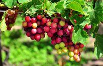 Bảo hộ chỉ dẫn địa lý 'Ninh Thuận' cho sản phẩm nho