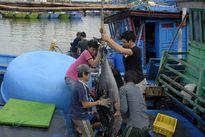 Mùa đánh bắt cá ngừ năm nay, kẻ cười người khóc!