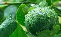 Tác dụng chữa bệnh kỳ diệu của loại lá cay và thơm trong vườn nhà