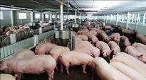 Giá lợn hôm nay bất ngờ giảm