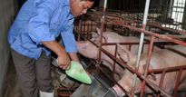 Người dám đánh cược cả sinh mạng vào lợn 'organic'