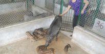 Nuôi lợn hương Cao Bằng + lợn rừng Thái Lan không lo bão giá