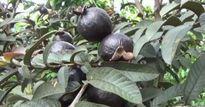 Phát sốt: Trồng giống ổi trái xanh, cây lớn lên ra lá, quả màu tím