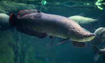 Lời kể hãi hùng về loài cá khổng lồ Arapaima