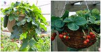 5 loại cây chậu treo cho quả sai trĩu dù nhà có chật đến đâu