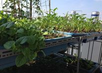 Bỏ 20 triệu làm vườn trên mái, chủ nhà Hà Nội chỉ thu được một bữa rau