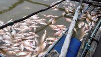 Bình Phước: Hàng chục tấn cá lồng bè chết chưa rõ nguyên nhân