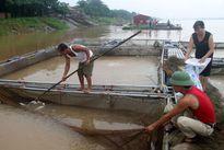 Thủy điện xả lũ, người nuôi cá lồng thiệt hại nặng
