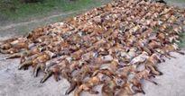 Giết 100 con cáo, vứt xác ngập đường rồi chụp ảnh