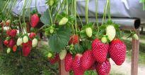Tự học trên internet, trồng dâu tây thủy canh 'đẹp như mơ' ở Đà Lạt