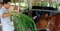 TP. Hồ Chí Minh: Dân chán bò sữa, đổ xô đi nuôi bò thịt