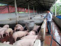 AVR gửi thư kêu gọi đẩy mạnh tiêu thụ thịt heo