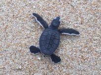 Hơn 100 con rùa được thả về biển Hòn Cau