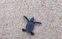 Người dân Bình Thuận thả 103 rùa biển con quý hiếm về biển Hòn Cau