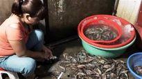 Hà Nội: Bắt tại trận dân buôn bơm tạp chất vào tôm