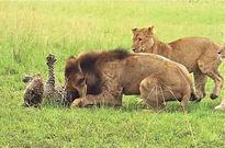 Báo chết thảm vì bị 9 con sư tử 'đánh hội đồng'