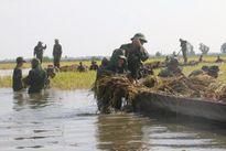 Bộ đội gặt lúa chạy lũ giúp dân