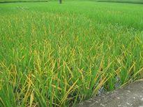 Hà Giang: Bệnh đốm sọc vi khuẩn gây hại nặng trên một số giống lúa