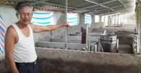 Lợn đã tiêm phòng vaccine, vẫn chết tới 300 con