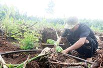 Nông dân lại đua nhau trồng chuối