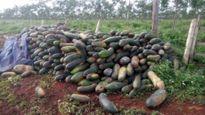 Làm rõ vụ công ty lừa dân trồng bí xanh
