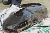 Liều mình với 'thủy quái': Cá trê 10kg, cá leo dài 1,8 mét