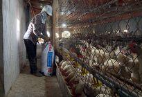 Nuôi hàng chục ngàn con gà Ai Cập, lãi 500 triệu đồng/năm