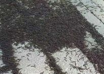 Thảm sâu cuốn chiếu dài 200 m phủ đen kịt ga tàu Trung Quốc