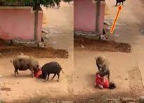 Kỳ cục những vụ lợn cắn người gây thương tích hy hữu