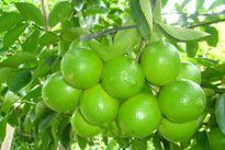 Hướng dẫn trồng và chăm sóc cây chanh cho quả sai trĩu quanh năm