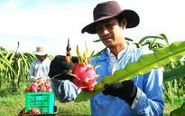 Bình Thuận mở rộng sản xuất thanh long theo chuẩn an toàn