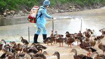 Các chủng virus cúm gia cầm có thể vào nước ta bất cứ lúc nào