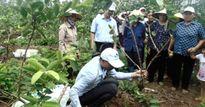 Phân bón Lâm Thao 'trợ lực' hiệu quả cho cây ổi Hải Dương