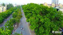 Hà Nội: Tiếp tục di dời hàng xà cừ 130 cây của đường Kim Mã