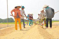 Nông dân ĐBSCL: Quần quật 4 tháng trồng lúa chẳng lãi đồng nào