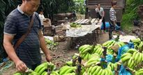 Làm giàu ở nông thôn: Sau thời làm thuê, khi về thành...tỷ phú chuối