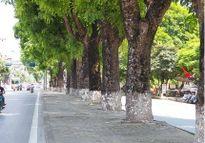 Ngắm hình ảnh xanh mướt mắt của hàng cây trên phố Kim Mã trước ngày đốn hạ