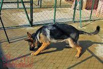 Thả chó chạy rông: Kiên quyết xử lý chủ nuôi thiếu ý thức