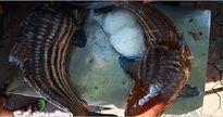 Mục sở thị cặp cá nhà giàu 'bay' từ biển về Thủ đô giá 2 triệu một kg