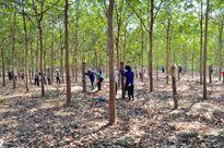Đắk Lắk không mở rộng diện tích trồng mới cao su
