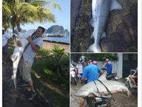 Cá mập 'khủng' bắt được ở Hạ Long nguy hiểm cỡ nào?