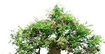 Cây khế bonsai đẹp miễn chê kiếm tiền triệu mỗi gốc nhờ áp dụng trồng đúng cách