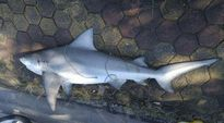 Cá mập mắt lợn xuất hiện ở Vịnh Hạ Long an toàn với con người