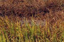 Diện tích lúa ở gần Nhà máy luyện kim màu Lào Cai có nguy cơ mất trắng